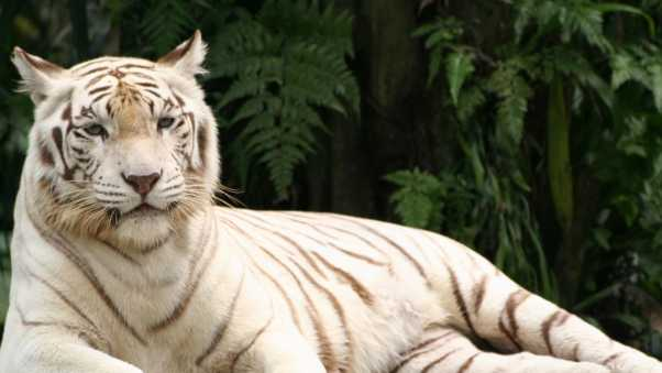 tiger, albino, down