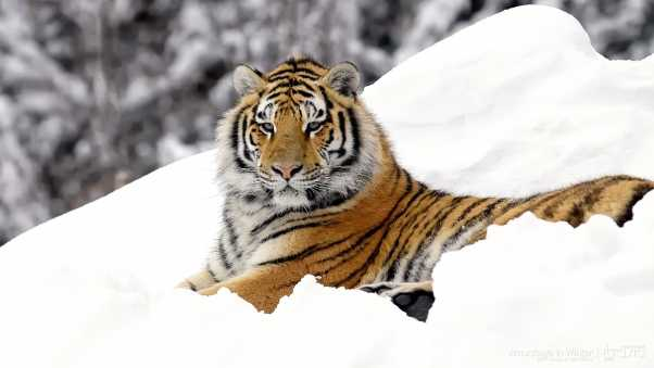 tiger, predator, snow