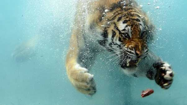 tiger, underwater, hunting