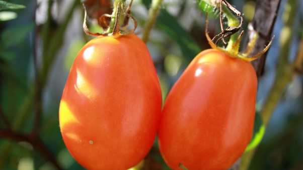 tomatoes, branch, ripe