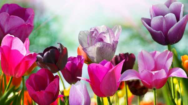 tulips, colorful, bouquet
