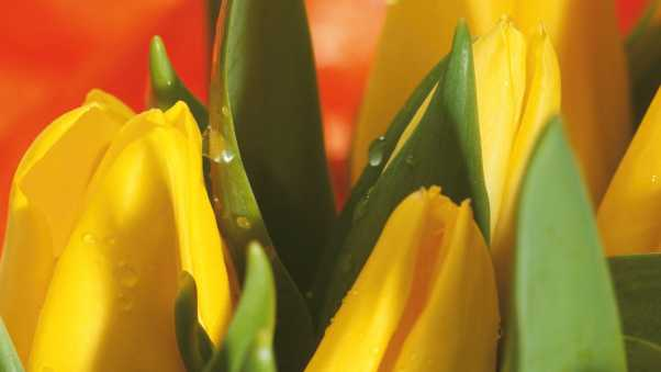 tulips, flowers, leaves