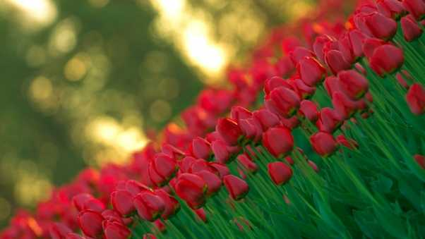 tulips, flowers, photography