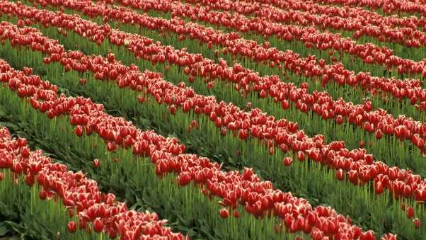 tulips, flowers, rows