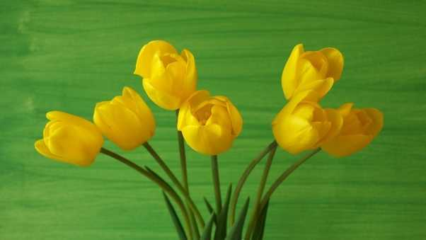 tulips, flowers, yellow