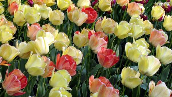 tulips, flowing, colorful