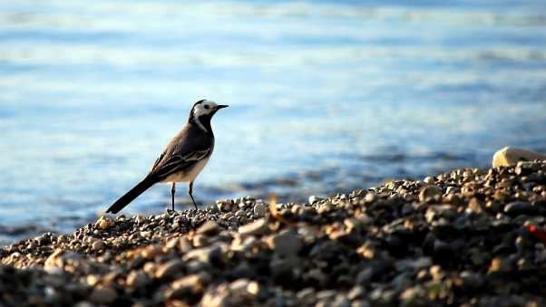 wagtail, pebbles, water