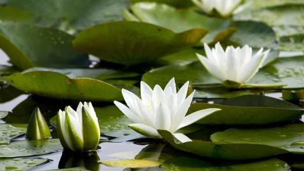 water lilies, white, pond