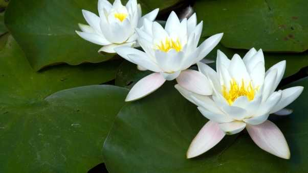 water lilies, white, three
