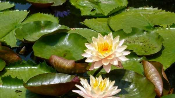 water-lily, pair, leaves