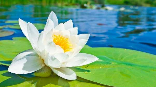water lily, water, drops