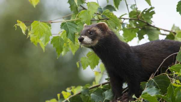 weasels, wild, small