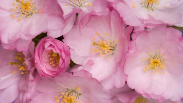 wild roses, flowers, pink