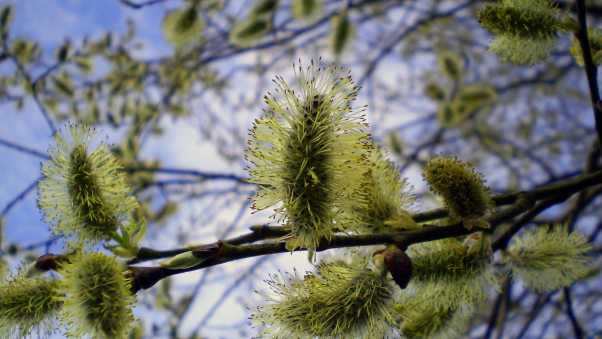 willow, tree, twig
