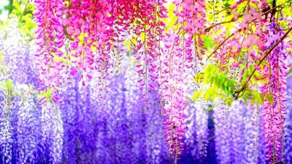 wisteria, branches, clusters