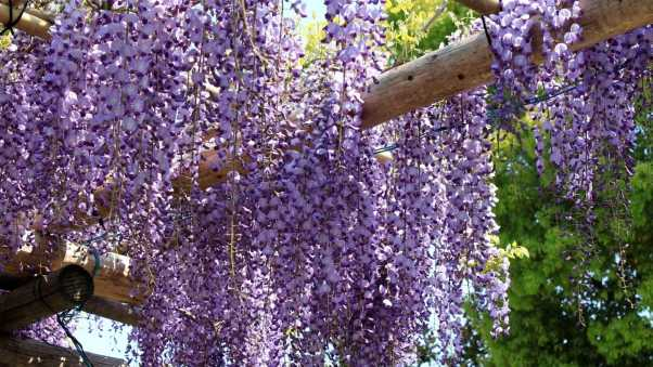 wisteria, grapes, beams