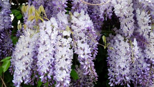 wisteria, grapes, branches
