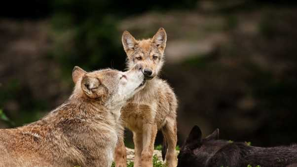 wolves, baby, care