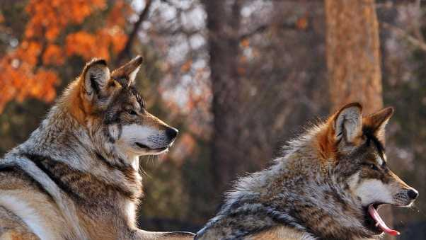 wolves, couple, down