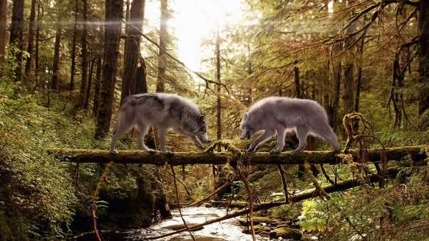 wolves, couple, forest