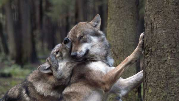 wolves, game, forest