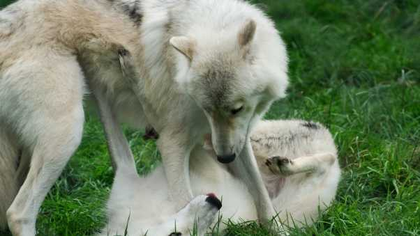 wolves, grass, game