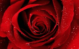 A Red Rose For You